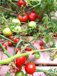 tomatoes on the vine on deck