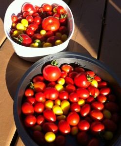 Freshly picked tomatoes for tomato soup