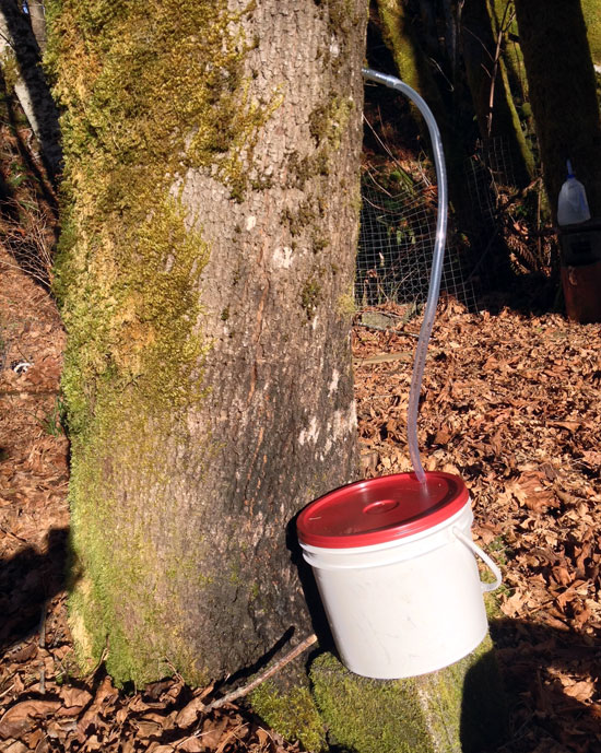 maple sap collection with bucket and lid