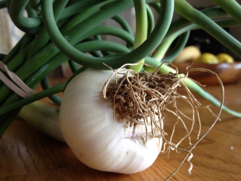 garlic bulb closeup with scapes